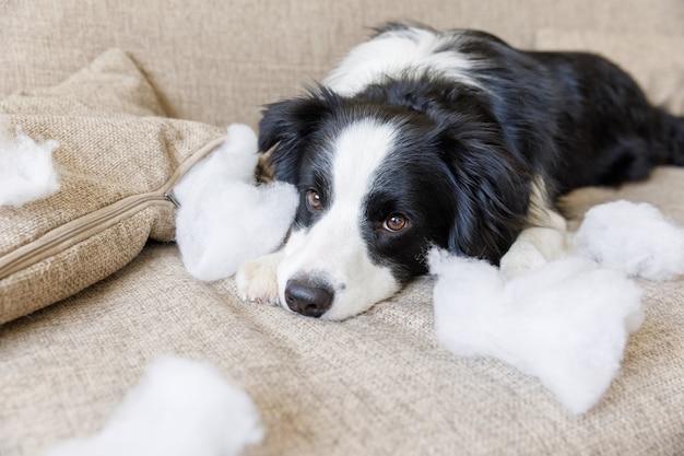 Niegrzeczny figlarny szczeniak rasy border collie po psotnej gryzieniu poduszki leżącej na kanapie w domu