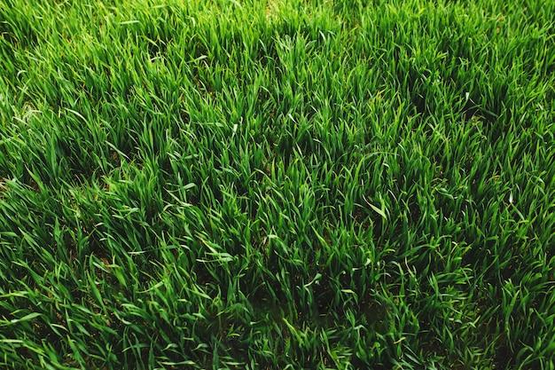 Niekończące się zielone pola uprawne z uprawą pszenicy i kukurydzy na wiosnę. zdjęcie wysokiej jakości