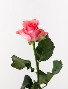 Nieleczona i surowa róża na białym tle