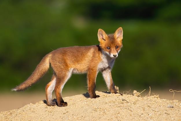 Nieletniego czerwonego lisa trwanie pozycja na piasku w lecie.