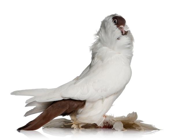 Niemiecki hełm z gołębiami z pierzastych stóp