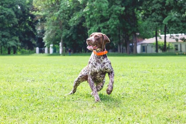 Niemiecki krótkowłosy pies biegnie po trawniku w parku