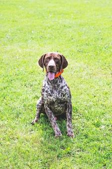 Niemiecki krótkowłosy pies siedzi na trawie i patrzy uważnie w kamerę