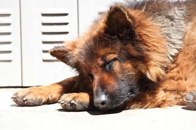 Niemiecki shepard śpi