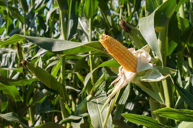 Nieopakowana żółta kolba kukurydzy otoczona zielonymi liśćmi