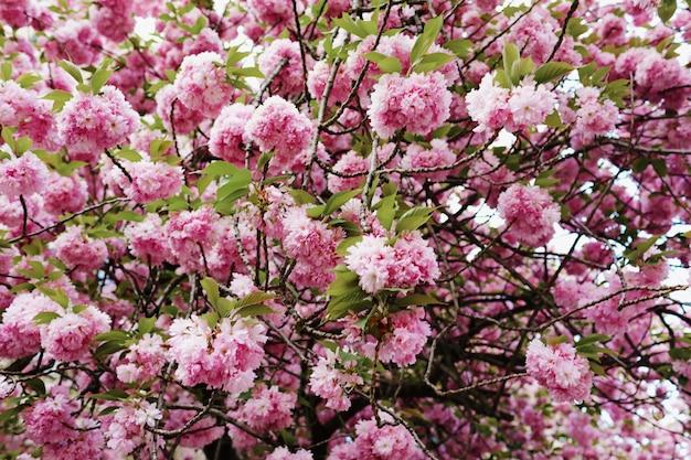 Nieostrość cherry blossom lub sakura kwiat na charakter. kwiat sakury