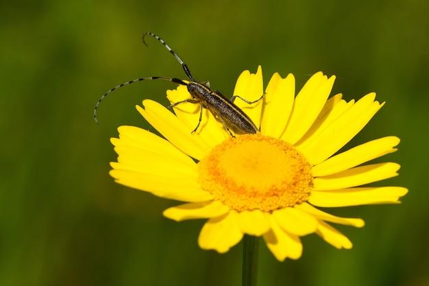 Nieostrość chrząszcza z długimi antenami na żywy żółty kwiat na polu