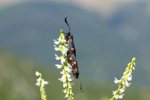 Nieostrość czarnych motków z pomarańczowymi plamami krycia na białym kwiatku