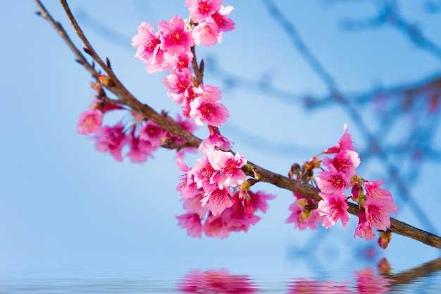 Nieostrość kwiat wiśni lub kwiat sakury