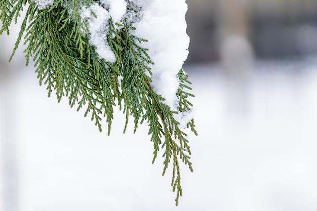 Nieostrość liści drzewa cyprysowego ze śniegiem
