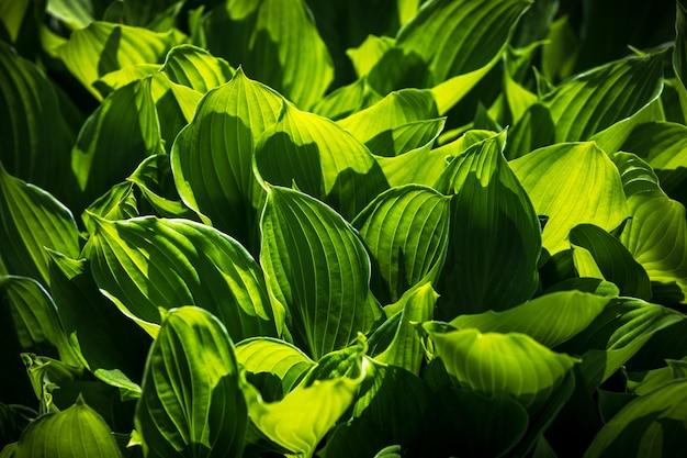 Nieostrość obrazu dużych zielonych liści. naturalne zielone tło tekstury