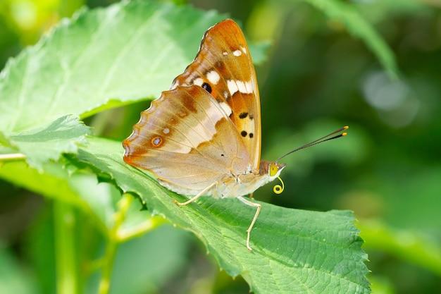 Nieostrość pięknego brązowego motyla na liściu na łące