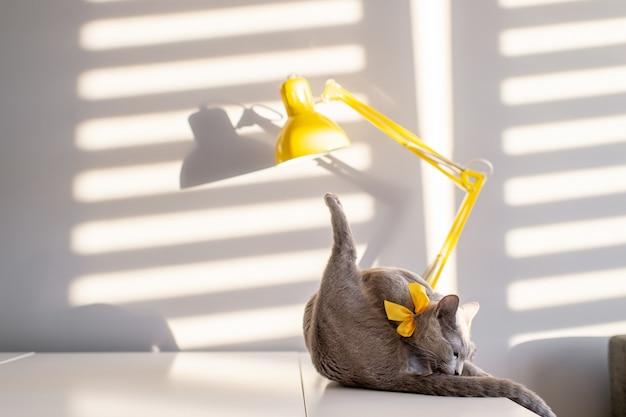 Nieostrość portret moda czystej krwi rosyjskiego niebieskiego kota z żółtą ozdobną muszką na szyi na stole z lampą światło i cień padające przez żaluzje na ścianie za nimi. pussycat we wnętrzu domu