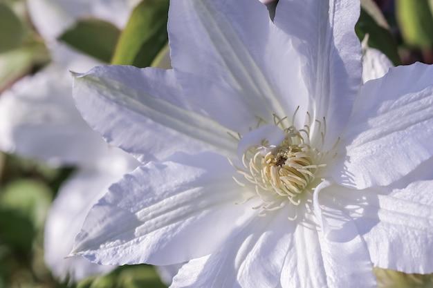 Nieostrość streszczenie tło kwiatowy biały powojnik kwiat makro kwiaty tło dla marki wakacje