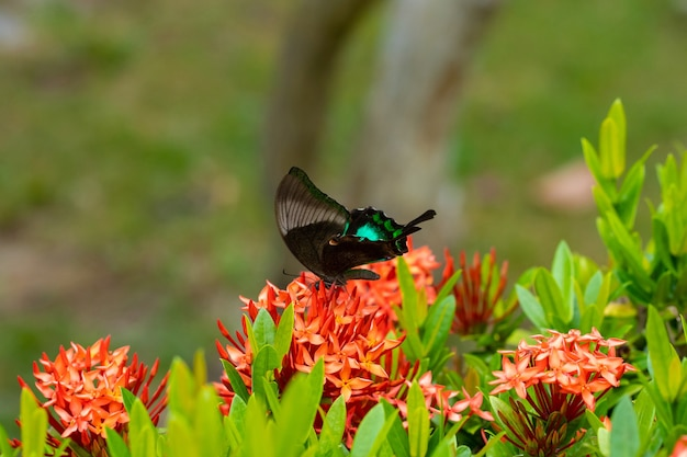 Niesamowicie piękny dzień tropikalny motyl papilio maackii zapyla kwiaty. czarno-zielony motyl pije nektar z kwiatów. kolory i piękno natury.