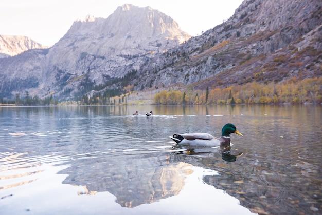 Niesamowita kaczka krzyżówka na jeziorze w górach?