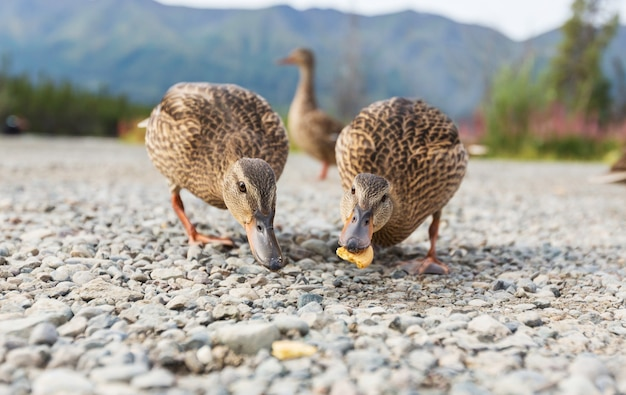 Niesamowita kaczka krzyżówka na jeziorze w górach