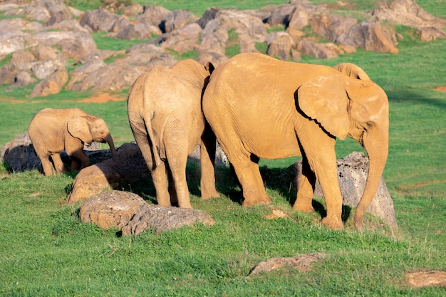 Niesamowita rodzina słoni. mama, tata i syn