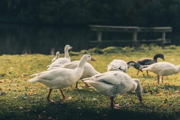 Niesamowite kaczki wokół jeziora