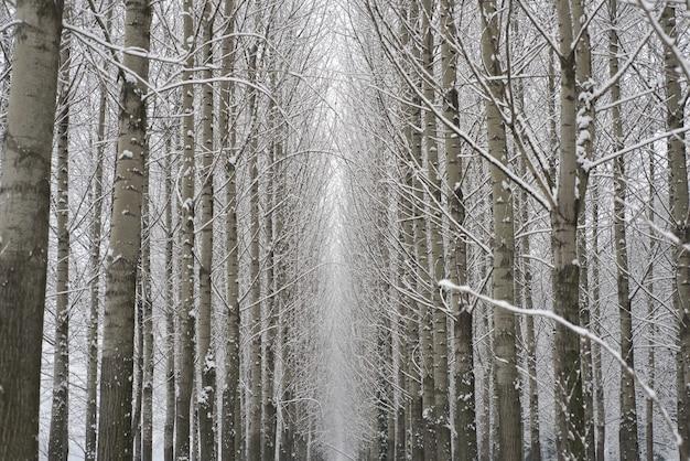 Niesamowite, niskie ujęcie zimowego lasu z dużą ilością drzew