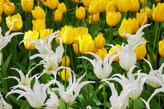 Niesamowite ozdobne biało-żółte pąki kwitnących tulipanów w parku