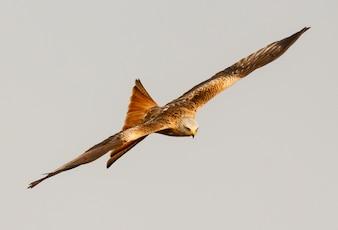 Ptaki Drapieżne Wektory Zdjęcia I Pliki Psd Darmowe Pobieranie