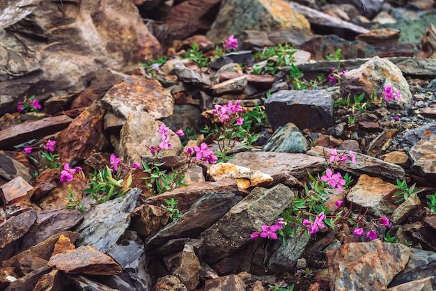 Niesamowite różowe kwiaty piołunu rosną na skałach wśród kamieni z bliska. bogata roślinność wyżynna. flora górska. szczegółowe naturalne tło z miejsca kopiowania. cudowna przyroda. piękne rośliny.