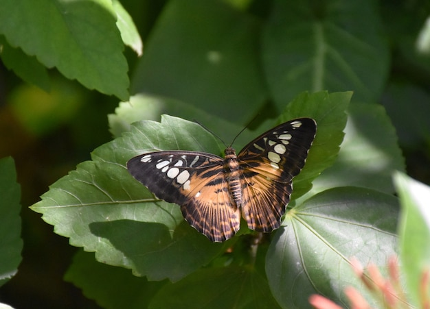Niesamowite spojrzenie z bliska na brązowego motyla clipper