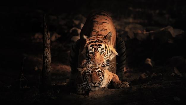 Niesamowite tygrysy bengalskie w przyrodzie