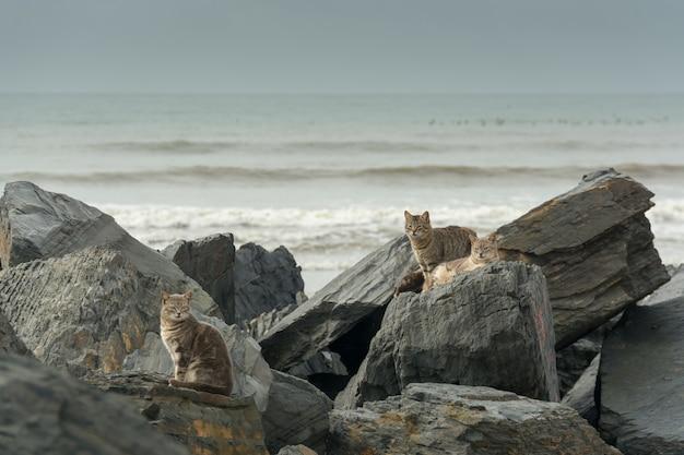 Niesamowite ujęcie trzech kotów siedzących i leżących na dużych skałach na plaży?