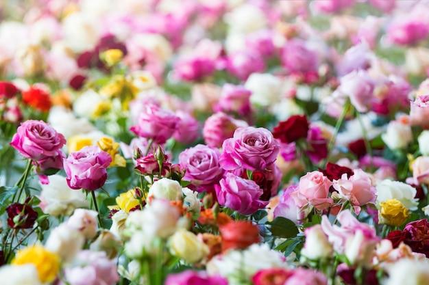 Niesamowite wielokolorowe róże, kwiaty w ogrodzie