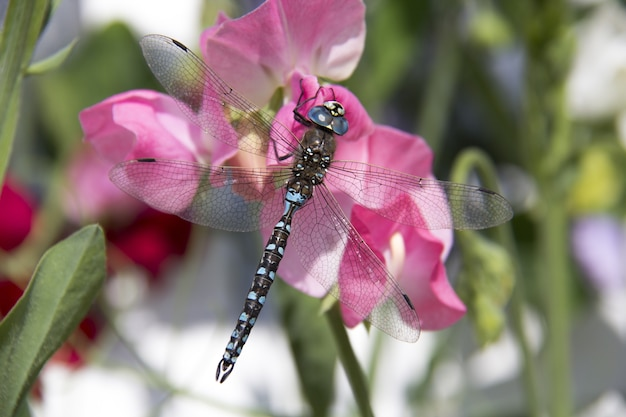 Niesamowite zdjęcia makro odonata na kwiatku