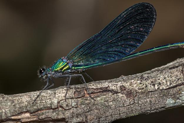 Niesamowite zdjęcia makro pięknej demoiselle na gałęzi