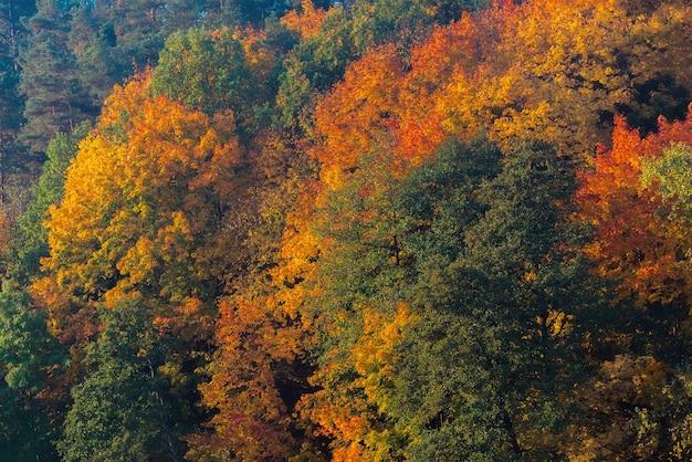 Niesamowite złote, żółte, czerwone, zielone kolory jesieni w lesie, lesie.