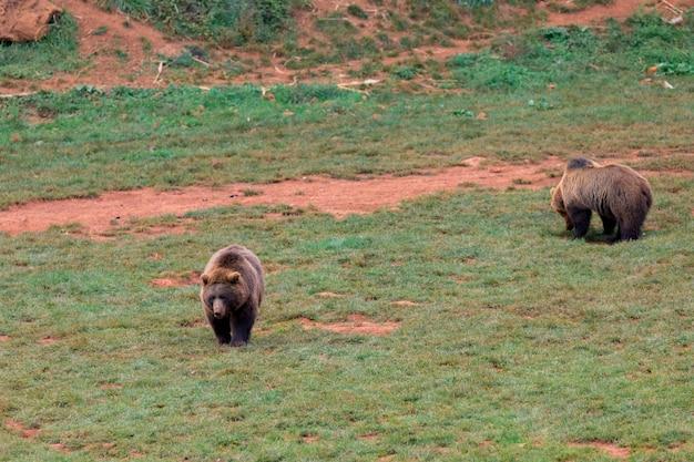Niesamowity brązowy niedźwiedź