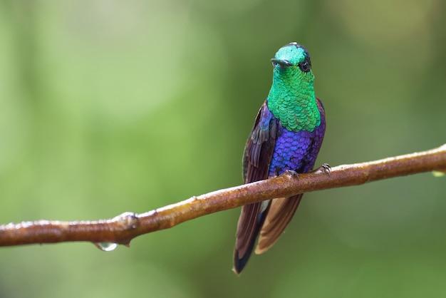 Niesamowity i piękny koliber siedzący na gałęzi