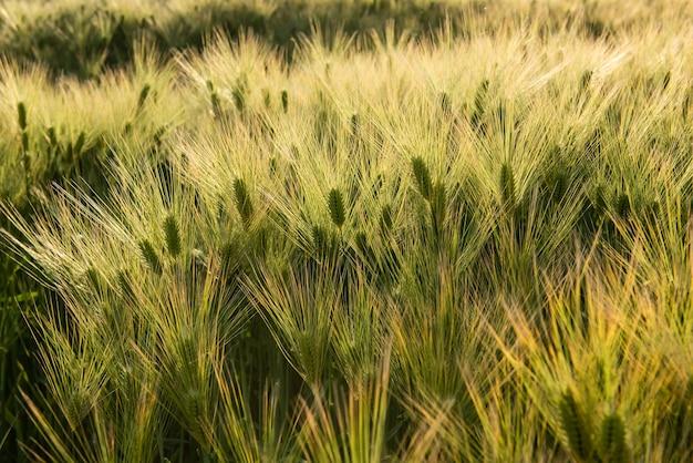 Niesamowity jasnozielony złoty kłos pszenicy rosnący na polu japońskiego rolnictwa oświetlony miękkim światłem słonecznym wpadającym z prawej strony. niedojrzałe ziarno na wiejskim krajobrazie.