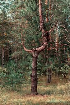 Niesamowity piękny pień sosnowy w lesie. dziwne przerażające.