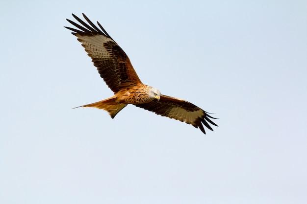 Niesamowity ptak drapieżny w locie
