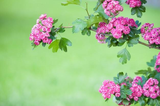 Niesamowity szkarłatny głóg kwitnie w parku z różowymi kwiatami