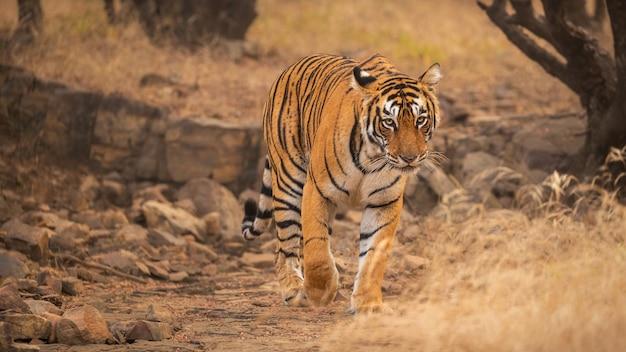 Niesamowity tygrys bengalski w naturze