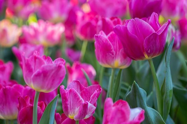 Niesamowity widok kwitnących kolorowych tulipanów w ogrodzie w słoneczny letni lub wiosenny dzień