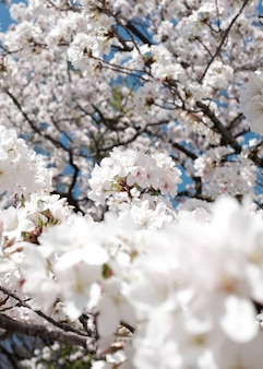 Niesamowity widok na piękny kwiat wiśni