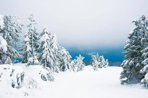 Niesamowity zimowy krajobraz śnieżnych małych jodeł