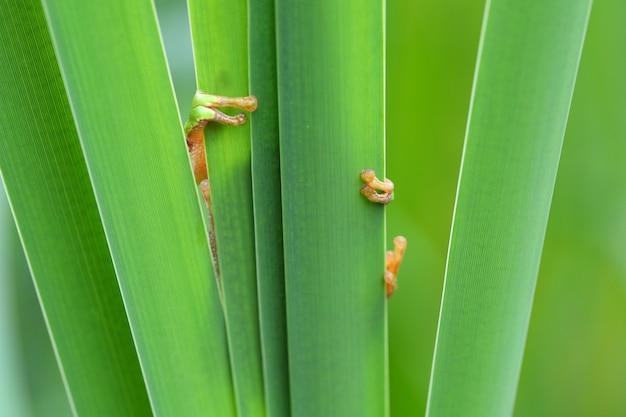 Nieśmiała europejska drzewna żaba chuje za zielonymi liśćmi w wiosny naturze.