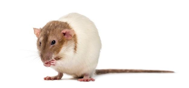 Nieśmiały szczur na białym tle
