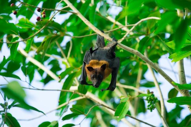 Nietoperz wiszący na gałęzi drzewa nietoperz malajski