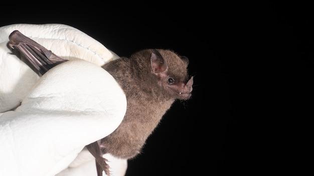 Nietoperz z długim językiem (glossophaga soricina) to nietoperz z ameryki południowej i środkowej o szybkim metabolizmie, który odżywia się nektarem.