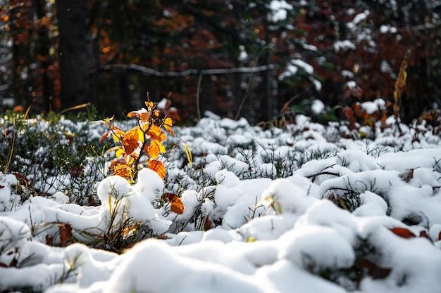 Niewielkie drzewo stoi pokryte śniegiem na polanie w środku lasu w karpatach