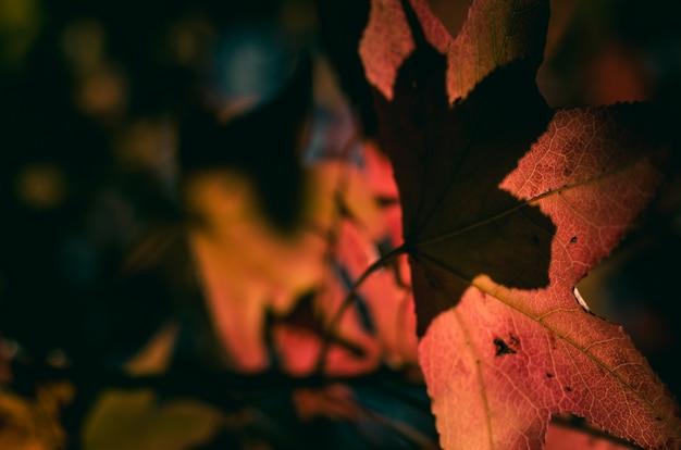 Niewyraźne i ciemne czerwone liście klonu
